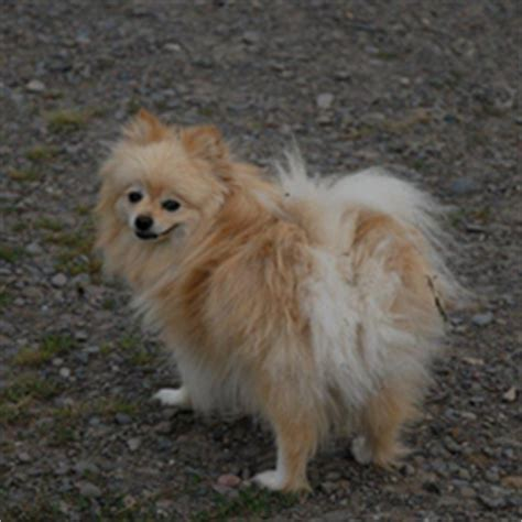 maple ridge pomeranians maple ridge kennel poodle pomeranian other breed puppies for sale breeds picture