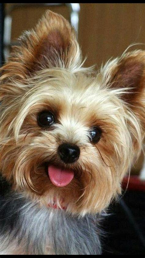 cute yorkie photos haircuts cute yorkie haircut adorable dog cute dog haircuts