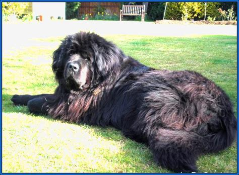 large haired dogs large breeds with hair jpg 798 215 586 large breeds