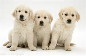 Dogs golden retriever pups photo wp14184