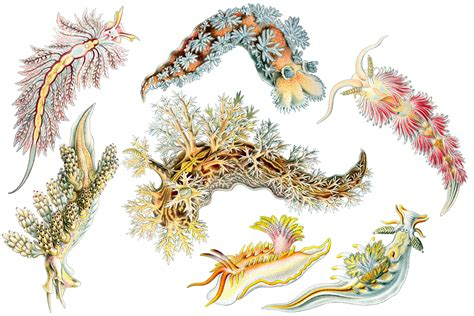 art forms in nature 3791319906 download wallpapers download 2560x1600 ernst haeckel art forms in nature nudibranchia white