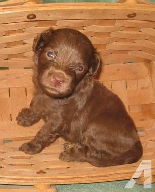 labradoodle puppies indiana australian labradoodle puppies for sale in lafayette indiana classified