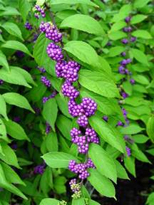 Purple Flowering Bushes Shrubs - purple beautyberry garden housecalls