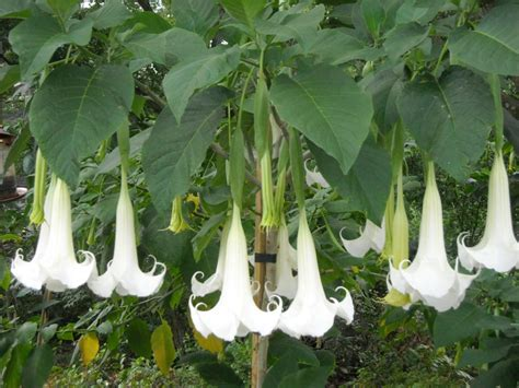 angel trumpet plants heritage seeds and flowers heirloom seeds vegetables and flowers