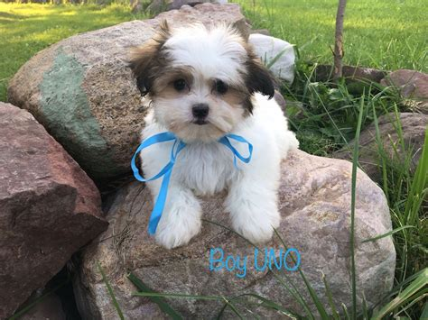 shih tzu puppies for sale in rochester ny malshi puppies malshi 4 22 dob 4 brothers ready now 850 must see puppy fail