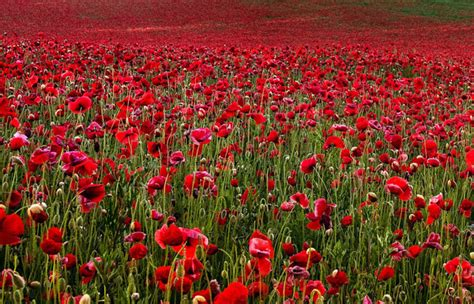 for remembrance day breathtaking photos of poppy fields enpundit