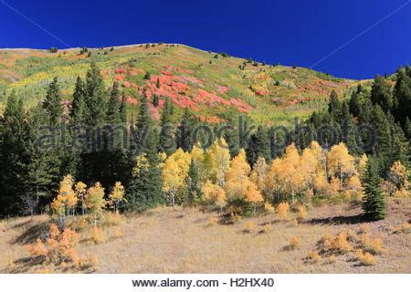 file autumn rocky mountain maple rocky mountain maple tree with aspen trunk in fall color