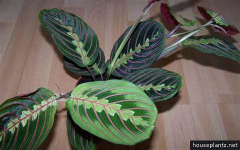 maranta leuconeura prayer plant