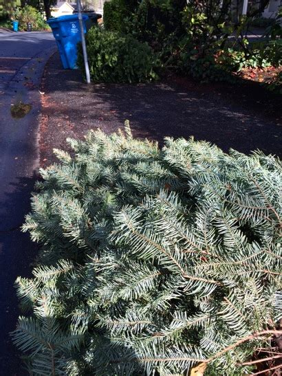wonder why your christmas tree hasn t been picked up here