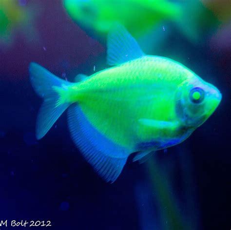 Fish Glow In The transgenic glow in the fish