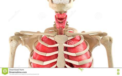 organi interni corpo umano rappresentazione degli organi interni e corpo umano 3d