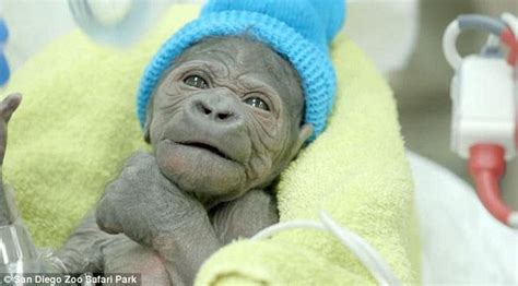 animal c section san diego park zoo welcomes adorable baby gorilla girl