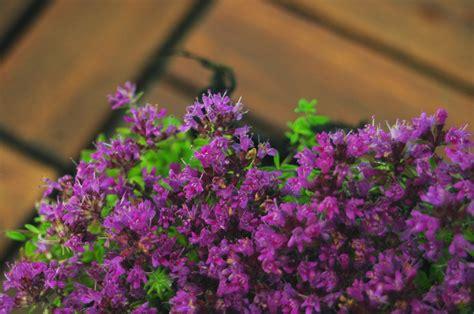 garten 24h garten thymian purpurteppich thymus praecox