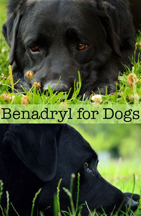 how much benadryl to give benadryl for dogs the labrador site