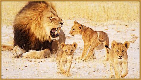 imagenes de leones fotos de leones las mejores fotos de leones el rey leon