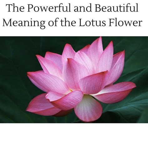 buddhism lotus flower meaning the powerful and beautiful meaning of the lotus flower
