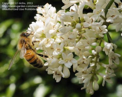 white flowering shrub identification plant identification closed white flowering ornamental