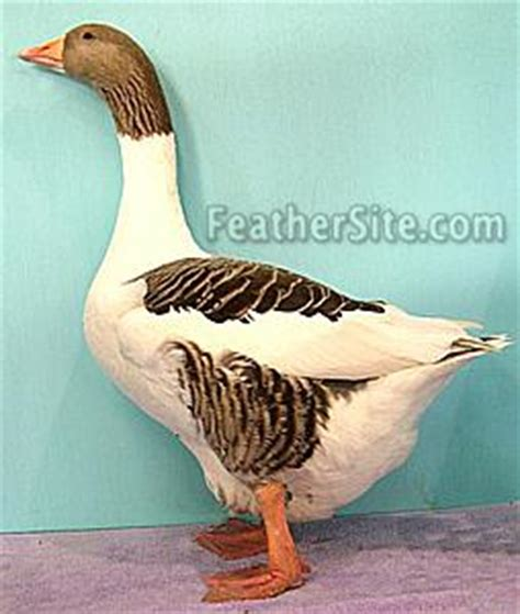 grey saddleback pomeranian goslings pomeranian geese