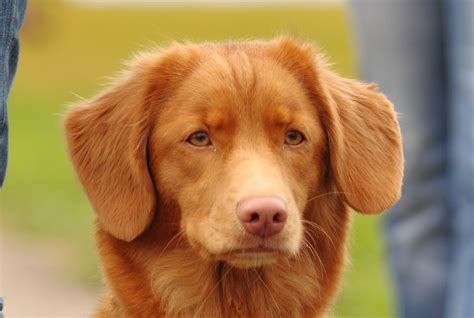 how to a to retrieve ducks scotia duck tolling retriever pictures wallpapers9