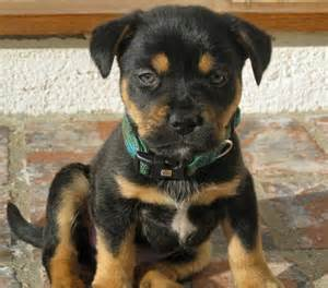 Juno the rottweiler mix puppies daily puppy