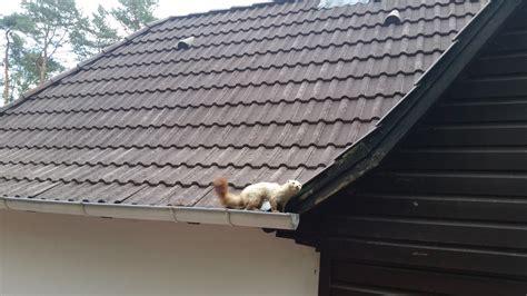 Marder Unter Dem Dach 4804 by Marder Ds Husen De Schaedlingsbekaempfung Buchholz De