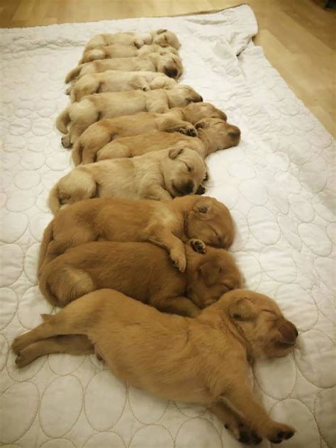 golden retriever puppies canberra 13 pictures of golden retriever puppies that show just how adorable they are top13