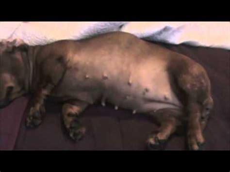 rottweiler pregnancy stages oriel 63 day pregnancy funnydog tv