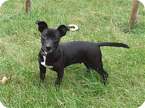 basset hound puppies mn symon adopted puppy minneapolis mn basset hound rat terrier mix