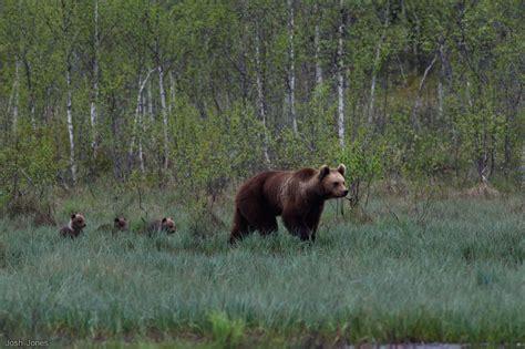 josh bears josh s brown bears in finland