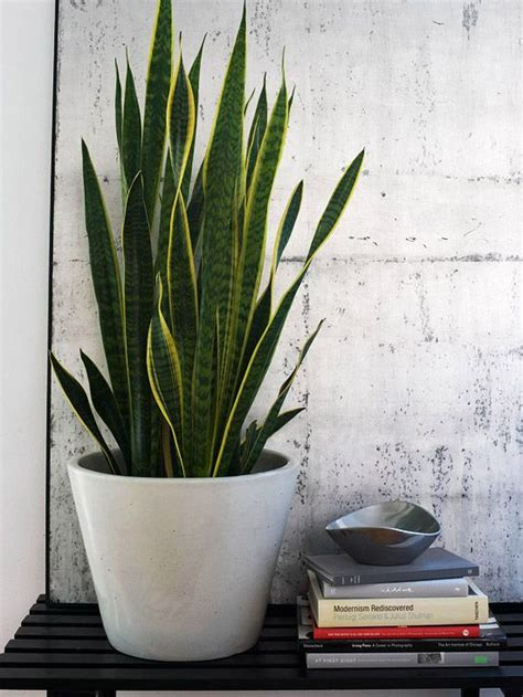 Snake Plant Light by 17 Best Ideas About Snake Plant On Sansevieria