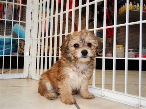 yorkie puppies for sale in beaufort sc 100 purebred maltese and king charles spaniels abandoned in worldnews