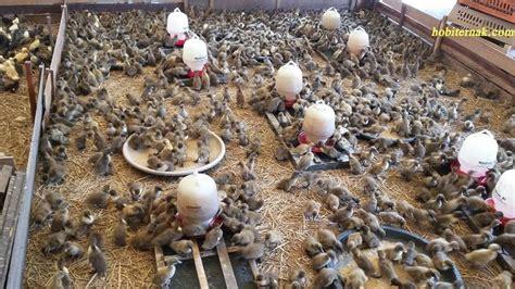 Ayam Hias Pekin harga jual bebek petelur dod atau bibit bebek jenis