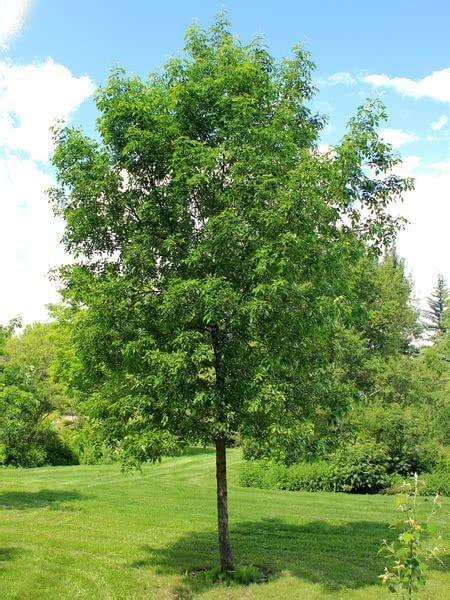 american maple tree uk green ash for sale treetime ca