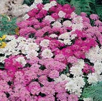 Bibit Bunga Lavender Lazada bibit bunga benih candytuft mixed lazada indonesia