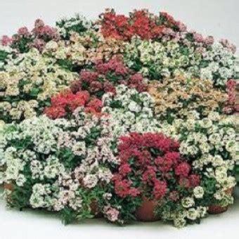 10 Benih Biji Bunga Zinnia Carpet bibit alyssum pastel carpet