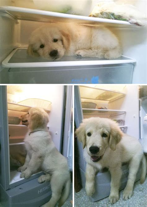 golden retriever puppies bc 10 times golden retriever puppies were the purest thing in the world bored panda