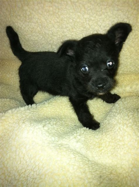 chi poo puppies for sale 8 week chi poo puppy oldbury west midlands pets4homes