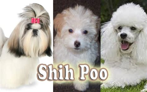 shih tzu vs poodle shih tzu poodle food dogs in our photo