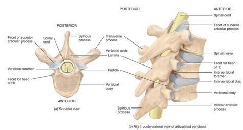 labeled vertebrae diagram thoracic vertebrae anatomy labeled geoface 7d22a9e5578e