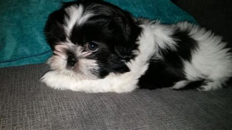 black white shih tzu 28 best black and white shih tzu pictures