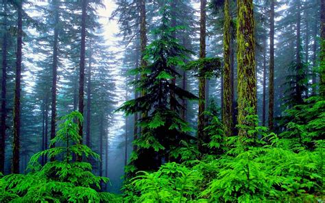 wallpaper mac forest pine tree wallpapers wallpaper cave