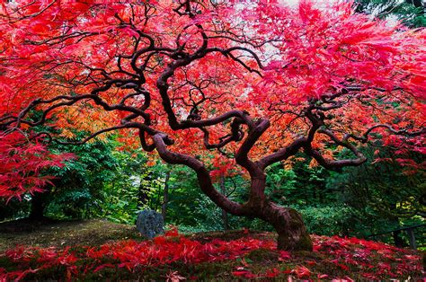 bright red color maple tree photograph by hisao mogi
