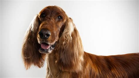 setter dogs 101 irish setter dog breed selector animal planet