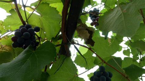 Jual Bibit Anggur Di Kediri jual bibit anggur merah cepat berbuah lebat di kediri 0813 3559 5272