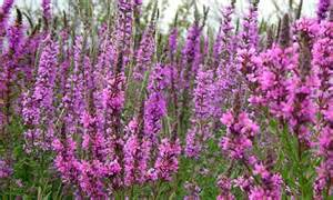 gallery for gt purple loosestrife