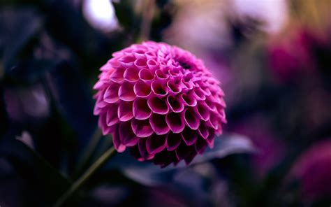 flower wallpaper purple dahlia flower wallpaper