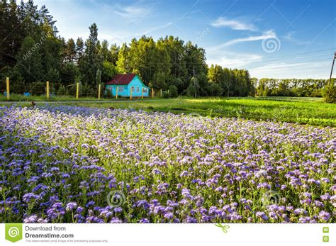 fiori in russia rural landscape with a small house and lavender field