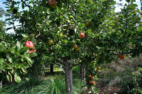 fiori alberi da frutto potatura alberi da frutto frutteto potare alberi da frutto