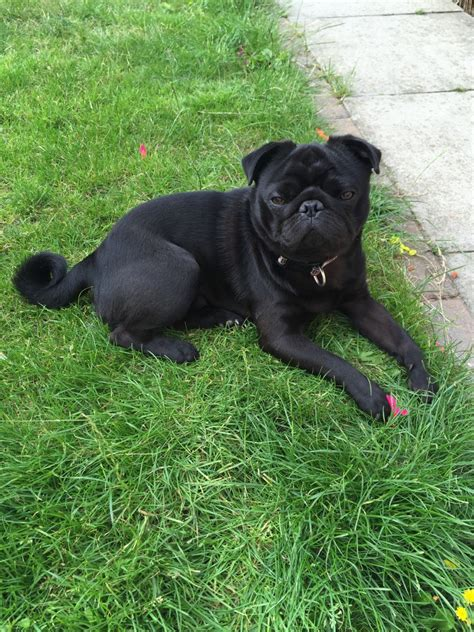 pug curl black pedigree pug for stud curl in his colchester essex pets4homes