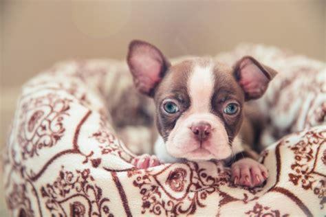 boston terrier puppies houston boston terrier rescue houston photo